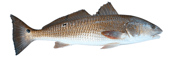 side photo of a redfish